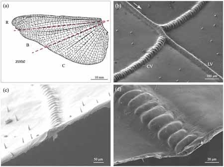 Imagen del estudio realizado por Jan-Henning Dirks y David Taylor donde se ve una secuencia de cuatro fotos en la que nos acercamos hacia el detalle de una vena que recorre el ala de un insecto.