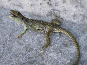 Foto 2. El lagarto ocelado atrapada ha sido liberada, aunque ha quedado muy mal parada. / Desinsectador 13-08-2012