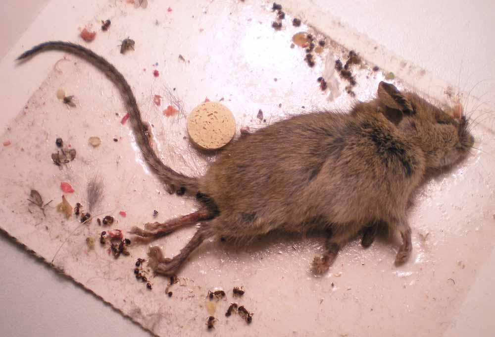 Olor a muerto de los ratones