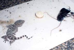 Foto 3. Salamanquesa común atrapada en un trampa adhesiva para cucarachas./ Desinsectador julio-2012