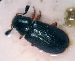 Foto 1. Imagen superior de un escarabajo de patas rojas del jamón./ Desinsectador 11-12-2012