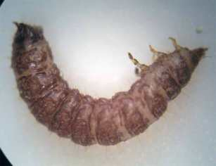 Foto 3. Imagen lateral de una larva de escarabajo de patas rojas del jamón./ Desinsectador 11-12-2012