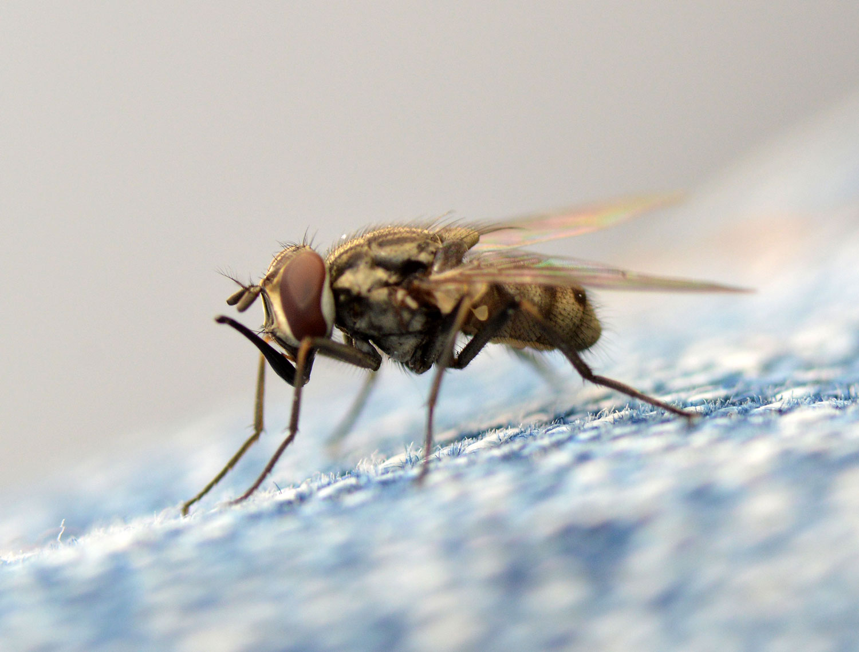 vectores voladores moscas parásitas importantes en los estados unidos