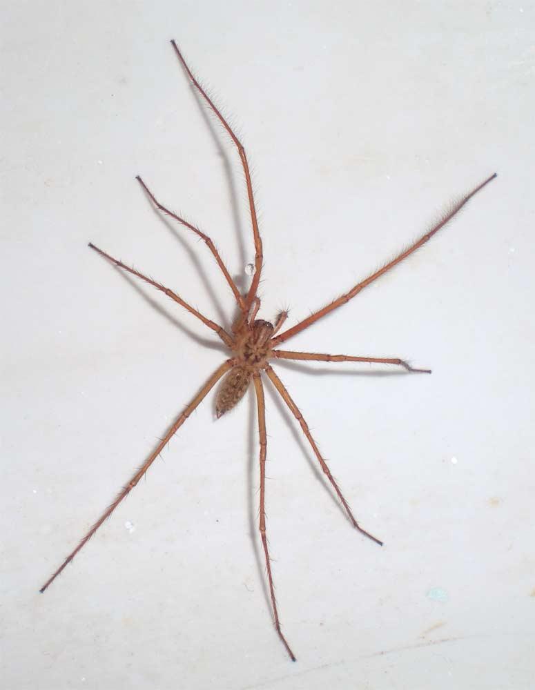 Araña doméstica (Tegenaria atrica) – El desinsectador y ...