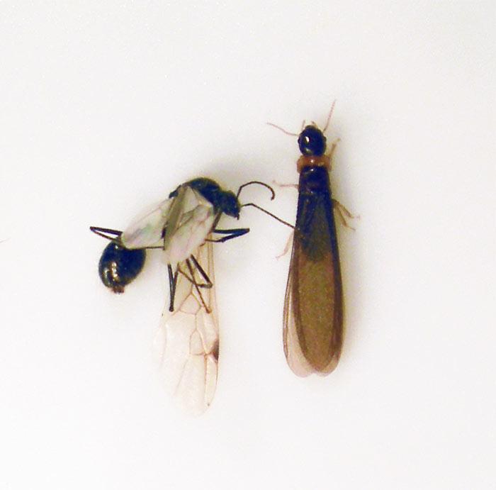 hormiga-alada-termita-alada