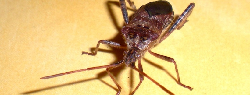 Como eliminar chinches en casa cool dos chinches pegados - Eliminar insectos en casa ...