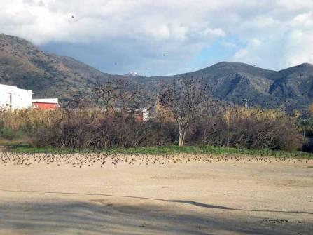 Foto 3. Estorninos pintos en las afueras de Rosas./ Desinsectador 17-12-2012
