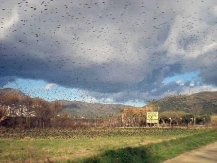 Foto 4. Estorninos pintos en las afueras de Rosas./ Desinsectador 17-12-2012
