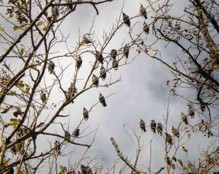 Foto 2. Estorninos pintos en las afueras de Rosas./ Desinsectador 17-12-2012