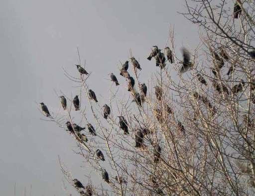 Foto 1. Estorninos pintos en las afueras de Rosas./ Desinsectador 17-12-2012