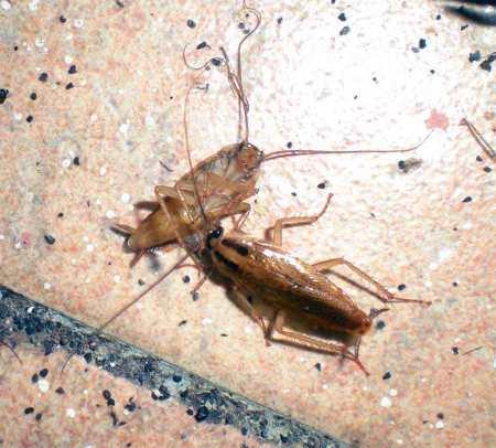 Foto 1. Una cucaracha germánica comiendo los líquidos internos de otra. Los puntitos negros que hay sobre el suelo son las deposiciones de las cucarachas./ Desinsectador 19-12-2012