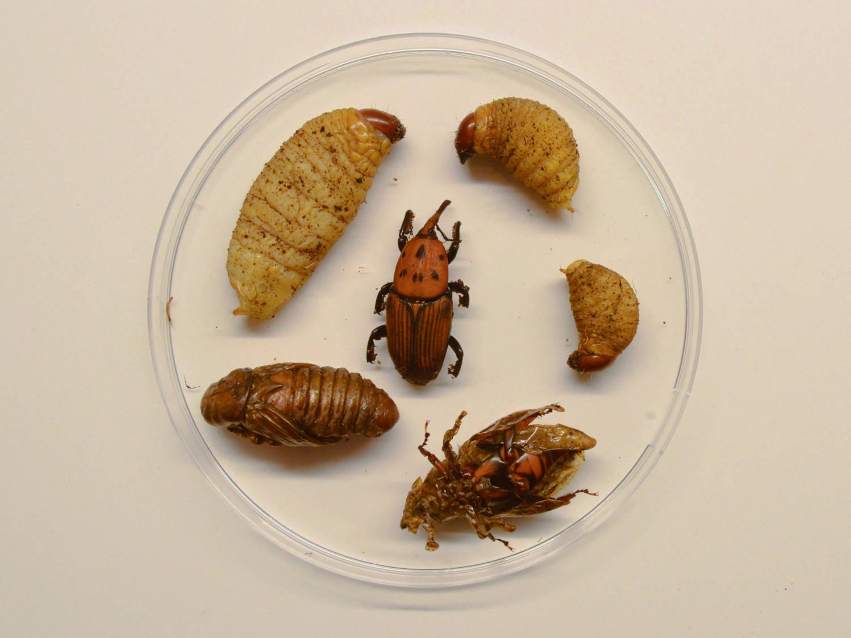 El Picudo Rojo De La Palmera Rhynchophorus Ferrugineus Coleoptera Dryophthoridae El Desinsectador Y Desratizador