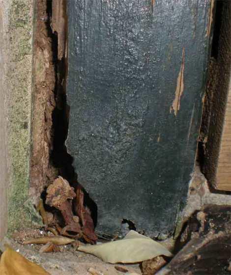 Foto 5. Imagen de la parte inferior izquierda de la puerta. Tras el paso de las termitas, el agua puede ir penetrando, lo que hace que actúen aún más los hongos./ Desinsectador diciembre-2012