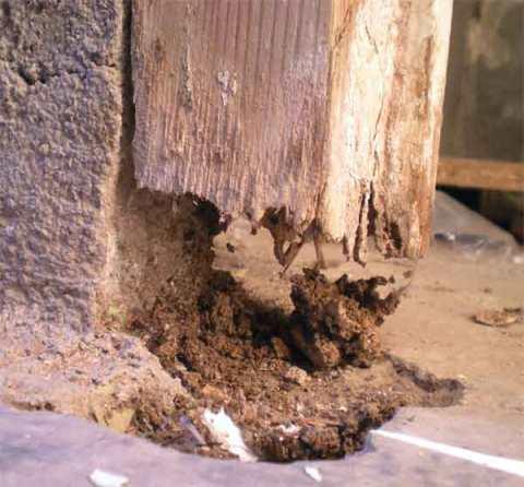 Foto 6. Parte inferior del marco de otra puerta del mismo local. Las termitas han hecho su trabajo y han permitido el paso de las ratas por el hueco que ha quedado./ Desinsectador diciembre-2012