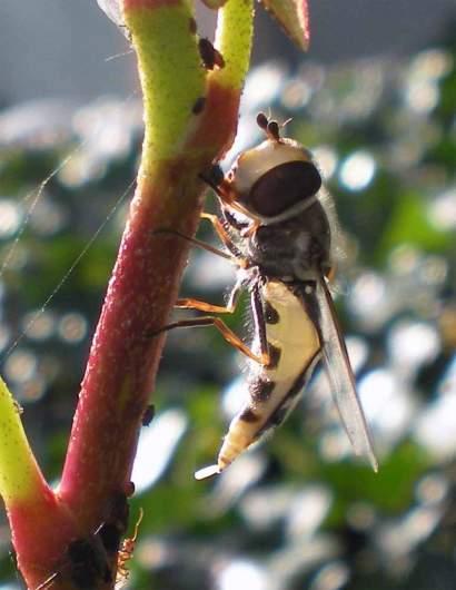 Foto 3. Imagen de una hembra de Scaeva pyrastri con un huevo en el extremo del abdomen junto a una colonia de pulgones./ Desinsectador 06-02-2013