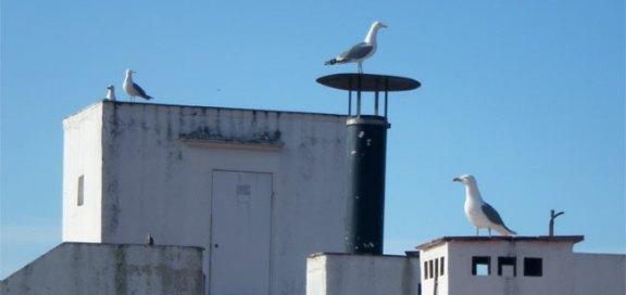Foto 1. Imagen de gaviotas patiamarillas sobre un tejado de un edificio./ Desinsectador 26-03-2013