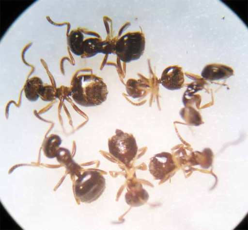 Foto 1. Hormigas de la especie Plagiolepsis pygmaea./ Desinsectador