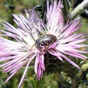 escarabajo-sudario-01