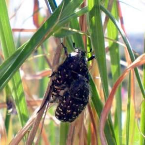 Foto 2. Pareja de escarabajos del sudario realizando la cópula./ 15-04-2013