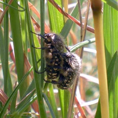 Foto 3. Pareja de escarabajos del sudario realizando la cópula./ 15-04-2013