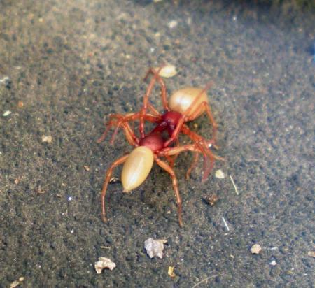 Foto 3. Dos arañas cazadoras, Dysdera crocata. Parece que se enfrenten./ Desinsectador marzo-2013