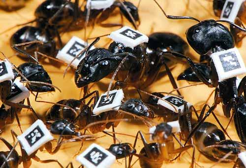 Hormigas del estudio.