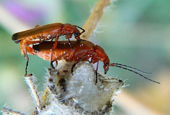 Foto 2. Cópula de dos escarabajos coraceros./ Desinsectador 25-06-2013