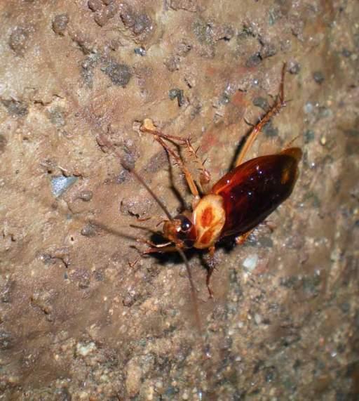Foto 3. Cucaracha americana posada sobre la pared de la fosa séptica./ Desinsectador abril-2013