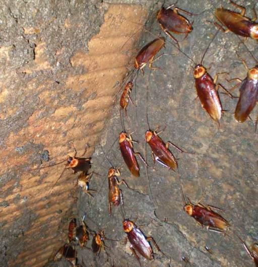 Foto 5. Cucarachas sobre una pared de la fosa séptica./ Desinsectador abril-2013