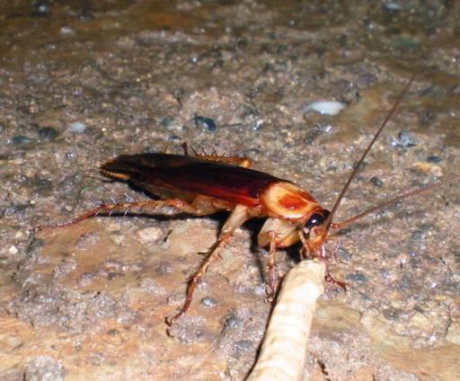 Foto 6. Cucaracha americana comiendo gel insecticida./ Desinsectador abril-2013