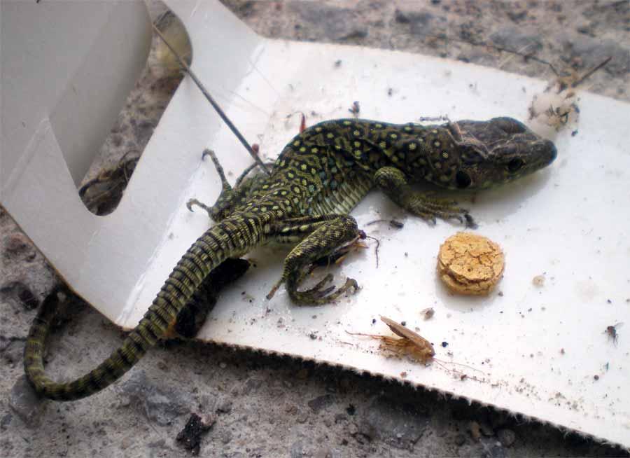 V ctimas colaterales los reptiles el desinsectador y - Trampas para ratones vivos ...