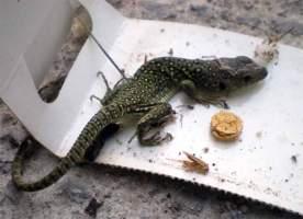 Foto 1. Lagarto ocelado atrapado en un trampa adhesiva para cucarachas./ Desinsectador septiembre-2012