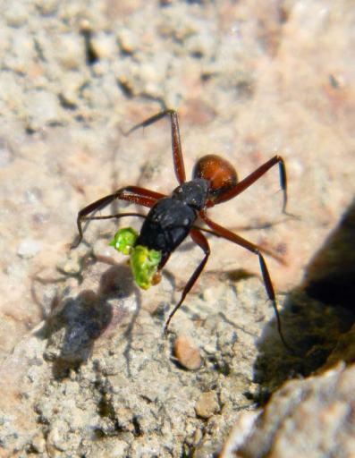 Foto 3. Obrera de Camponotus cruentatus llevando un trozo de planta./ Desinsectador 02-06-2013