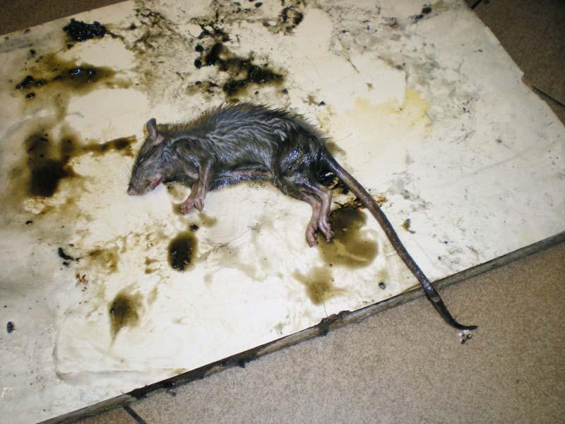 Cola para atrapar ratas y ratones el desinsectador y - Como atrapar ratones ...