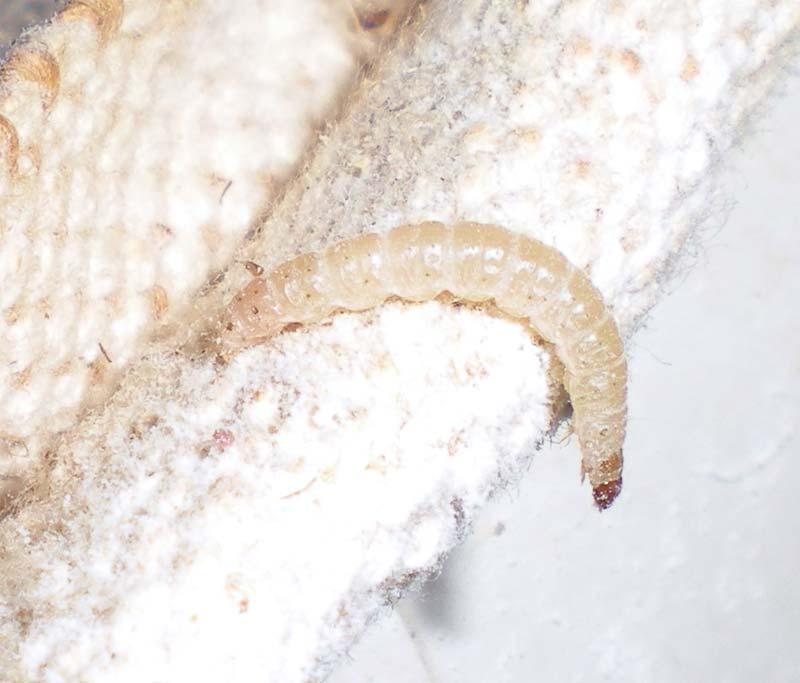 Larva de la polilla mediterr nea de la harina el for Larvas de polillas en el techo