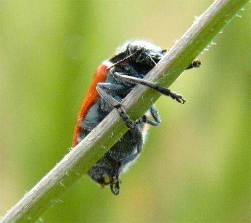 Foto 2. Escarabajo de seis puntos agarrado a una rama./ Desinsectador 02-06-2013
