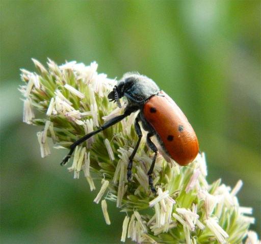 Foto 1. Escarabajo de seis puntos sobre una planta./ Desinsectador 02-05-2013