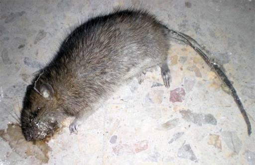 Foto 1. Rata muerta sobre el suelo de un local cerrado./ Desinsectador 18-06-2013