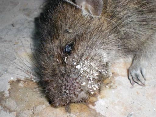Foto 3. Cabeza de rata llena de restos de huevos ya eclosionados./ Desinsectador 18-06-2013