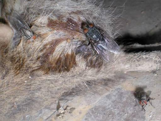 Foto 7. Tres moscas sobre la rata muerta./ Desinsectador 18-06-2013
