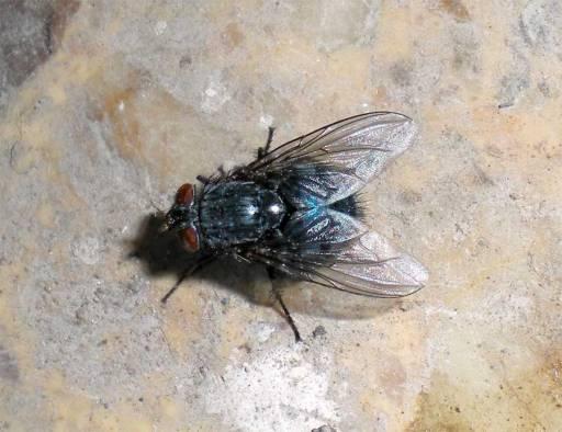Foto 4. Mosca Calliphora sp en el suelo cerca de la rata muerta./ Desinsectador 18-06-2013