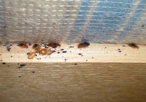 Foto 4. Chinches sobre la lama de un somier bajo el colchón./ Desinsectador 07-2013