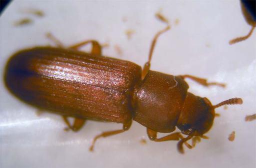Foto 5. Hembra del escarabajo cornudo de la harina./ Desinsectador 15-07-2013