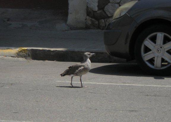 Foto 1. Pollo de gaviota patiamarilla caminando por la calzada./ Desinsectador
