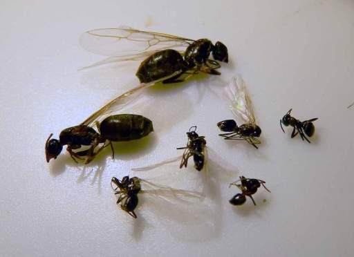 Foto 3. Hormigas Lasius sp. Las más grandes aladas son reinas. Las pequeñas aladas son reyes y, las otras, obreras./ Desinsectador junio-2013