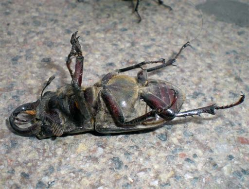 Foto 5. Ejemplar muerto./ Desinsectador 07-2013