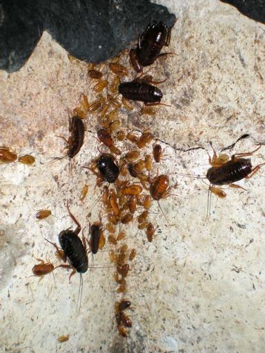 Foto 2. Cucarachas en las paredes del registro del albañal./ Desinsectador 07-2013