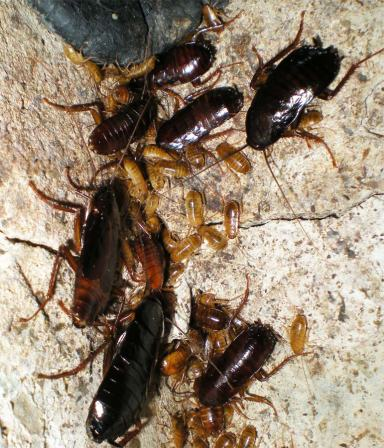 Foto 3. Cucarachas en las paredes del registro del albañal./ Desinsectador 07-2013