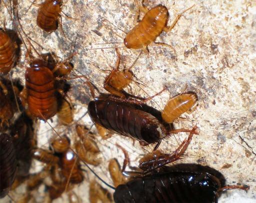 Foto 4. Cucarachas en las paredes del registro del albañal./ Desinsectador 07-2013
