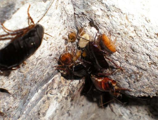 Foto 5. Cucarachas en las paredes del registro del albañal./ Desinsectador 07-2013